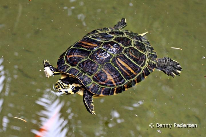 guløret terrapin sumpskildpadde